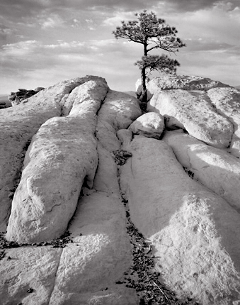 Pinyon Pine and Sandstone, 2004. Near Grant, New Mexico.. Limited edition black and white photograph