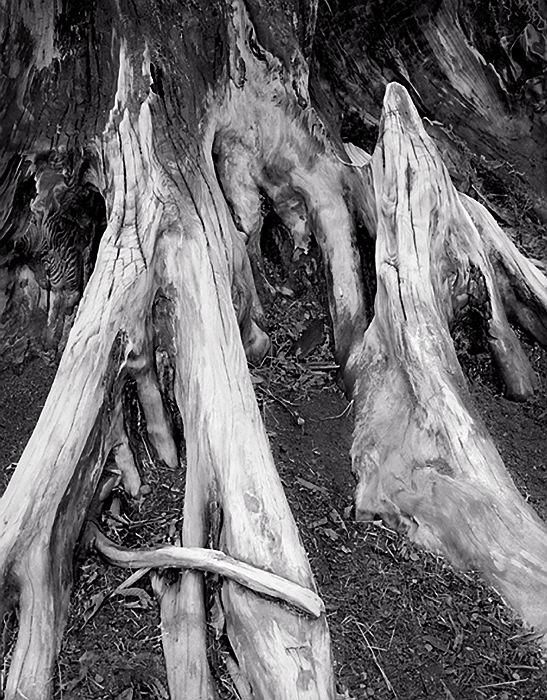 Stump Detail, 1980. Mt. Baker National Forest, Washington